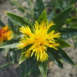 Powder of Safflower Oil